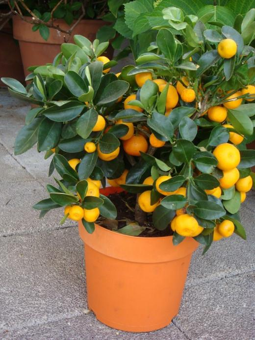 Как в домашних условиях выращивать кумкват