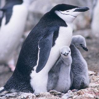 """Антарктический пингвин, подушка, картина, птицы, пингвины.  Оригинал схемы вышивки  """"Антарктический пингвин """" ."""