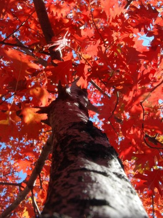 дуб красный