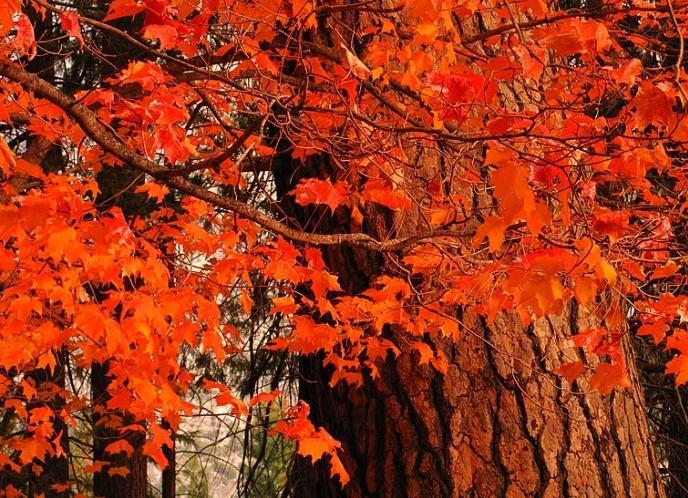 фото красного дуба