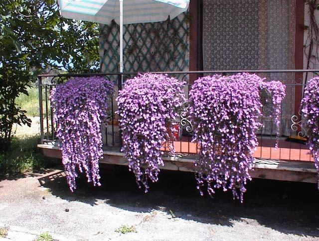 Уличные цветы плетущиеся
