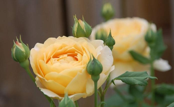 Роза канадская