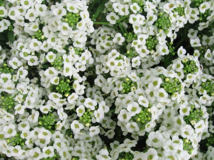 Садовые цветы для ленивых алиссум