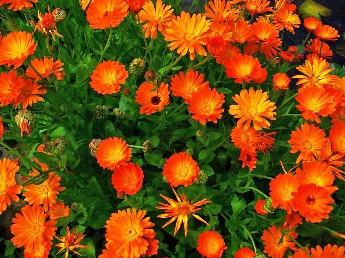 Календула цветок выращивание 28