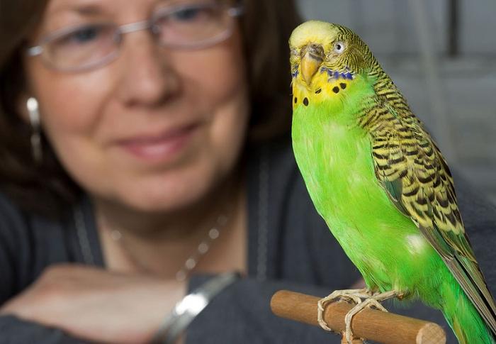 Можно ли приручить волнистого попугая