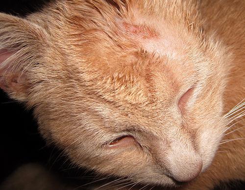 лишай у кошек лечение фото