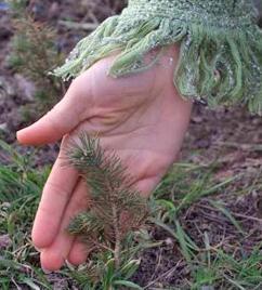 Выращивание кедра из семян в домашних условиях