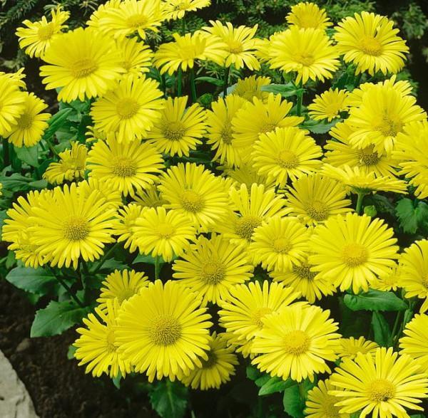 Луковичные цветы для сада фото