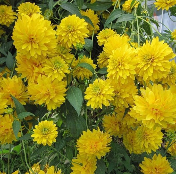 Цветы золотой шар традиционного