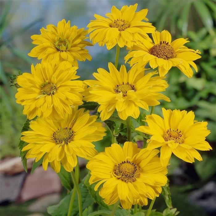 Шероховатый золотые шары цветы
