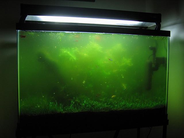 Почему в аквариуме зеленеет вода?