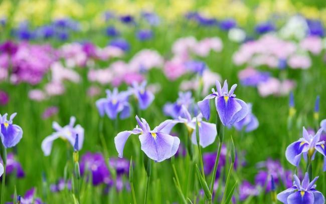 Посадка ирисов весной советы и