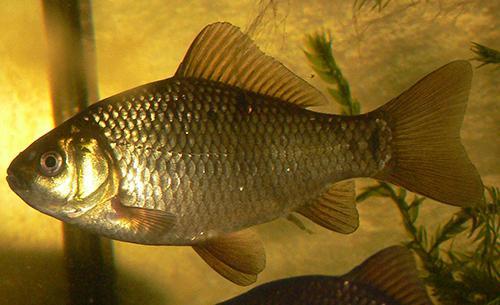 Карась рыба где обитает