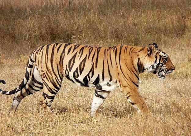 продолжительность жизни тигров