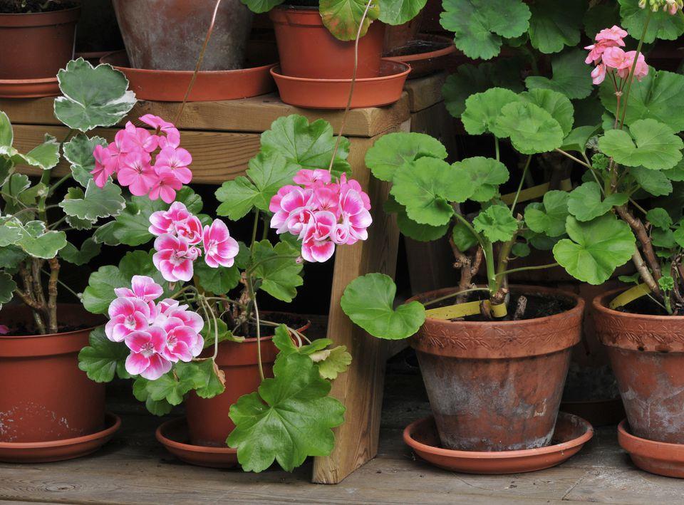 Почему сохнут листья у герани? Уход за геранью в домашних условиях для начинающих