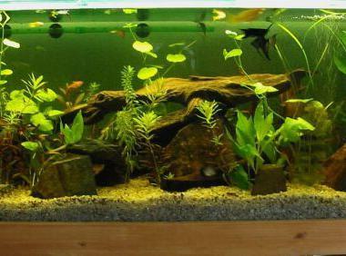 оформление аквариума для цихлид