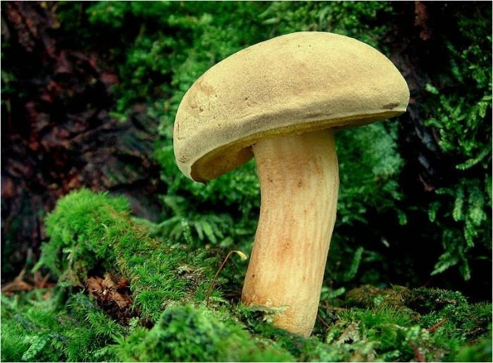 Как готовить маховики грибы фото