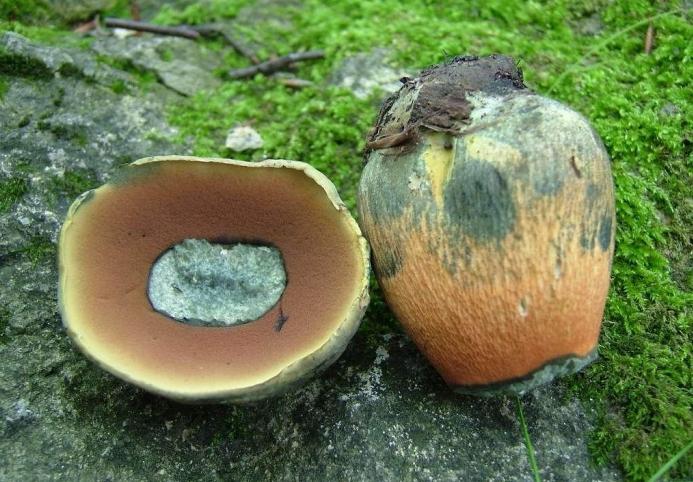поддубовик гриб описание и фото