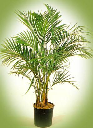 Пальмовые уход в домашних условиях 24