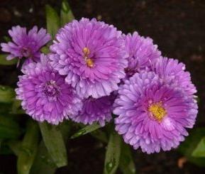 Многолетние цветы  sadmechtyru
