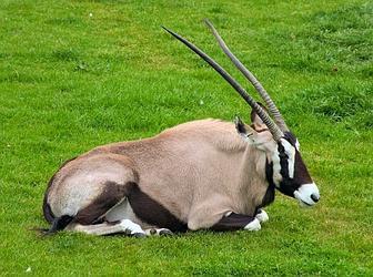 Африканская антилопа
