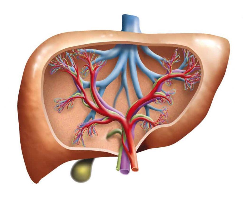 liver schematic