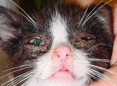 Заметить слезящиеся глаза у кошки