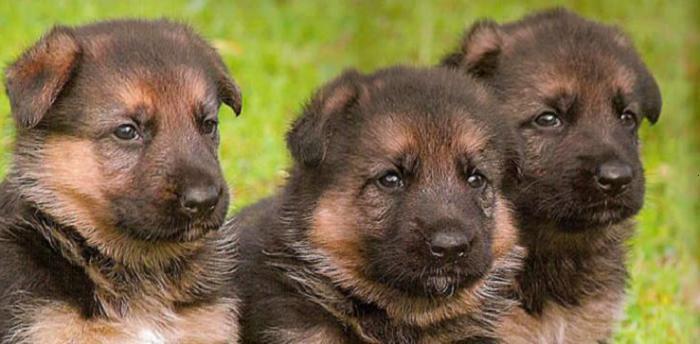 собака овчарка немецкая щенок