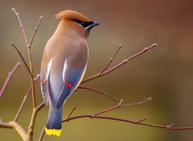 Интересно, свиристель - птица перелетная или нет?