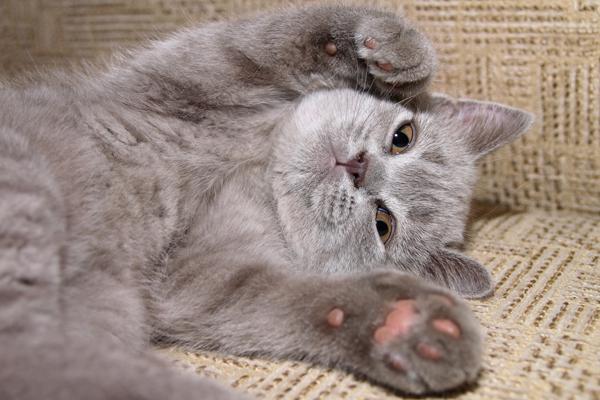 сколько у кошек пальцев