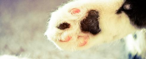 сколько пальцев у кошки на задних лапах