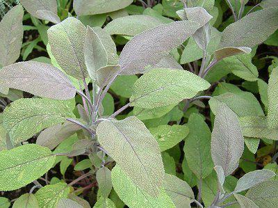 лекарственная трава шалфей