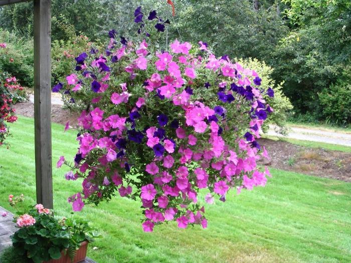 Ампельные цветы для сада названия и фото