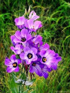 Эустома цветы
