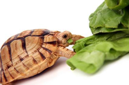 Что ест черепаха в домашних условиях и