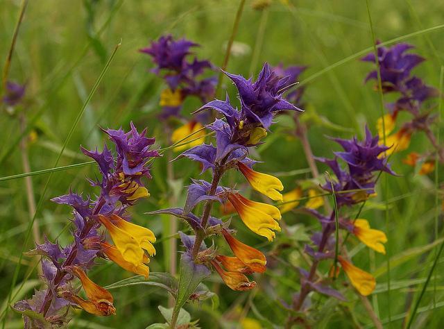 Желто фиолетовый цветок полевой