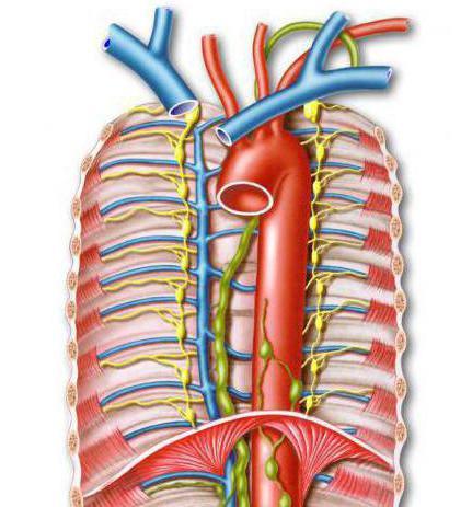 грудной лимфатический проток впадает в