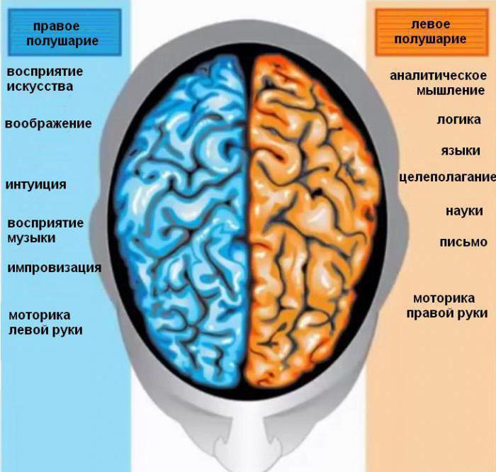 Височная доля головного мозга