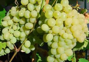 Виноград плевен - один из лучших столовых сортов винной ягоды