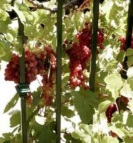 Виноград лучистый описание сорта фото