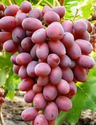 Ризамат виноград