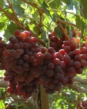 Виноград русский ранний описание сорта фото отзывы