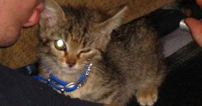Что делать если у котенка гноятся глаза