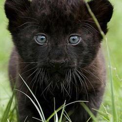 животное пантера