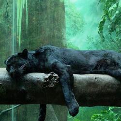 пантера фото животное