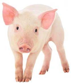 мусульманам нельзя есть свинину