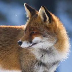 Рыжая лиса по соннику