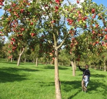 Когда обрезать яблоню осенью или весной