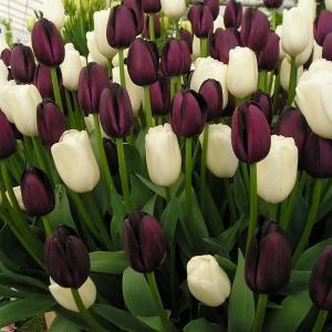 Выращиваем тюльпаны из луковиц в домашних условиях 91