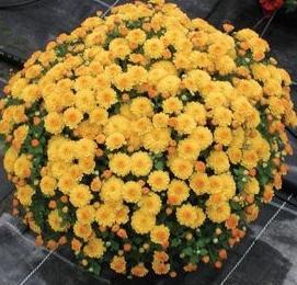 Хризантемы посадка и уход осенью
